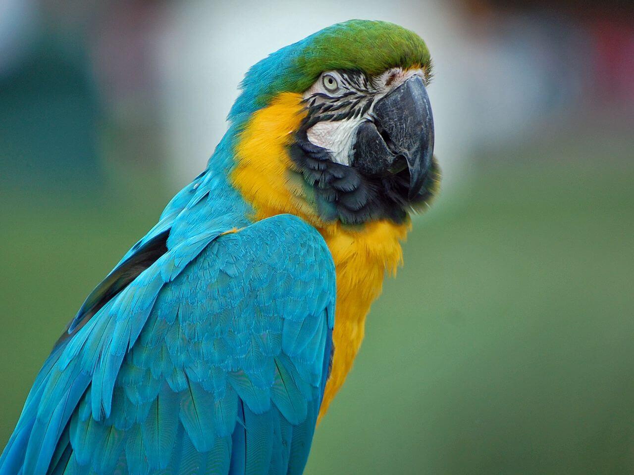 Curiozitati despre Papagali