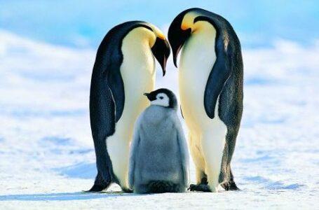 Top 17 lucruri interesante despre pinguini